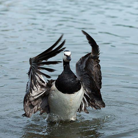 Wild Goose, Image