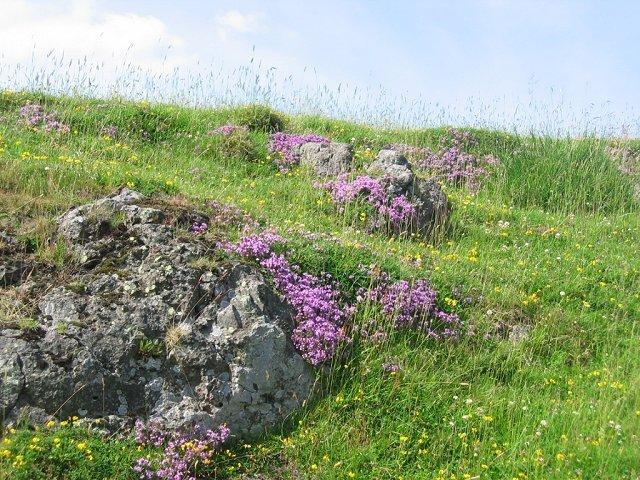 Wild Mountain Thyme Image