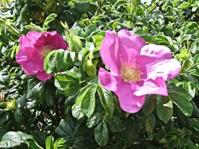 Wild Roses Image
