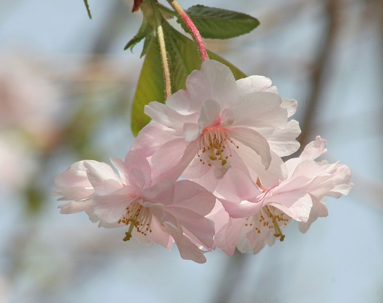 Yaezakura, Double Cherry Blossoms Image